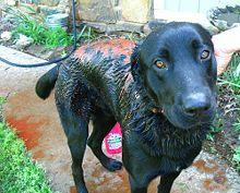 Has your dog got skunked? Are you holding your nose and trying to figure out how to get the skunk smell out of your dog? Look no further: This writer shares her story and explains how to remove the skunk smell naturally, step-by-step, from your fur-baby. Dog Sprayed By Skunk, Skunk Spray, Diy Dog Shampoo, Flea Shampoo For Cats, Dog Skunk, Kill Fleas On Dogs, Getting Rid Of Skunks, Skunk Smell, Coconut Oil For Dogs