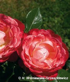 Róża wielkokwiatowa (nostalgiczna) 'Nostalgie' Rosa 'Nostalgie'  Ta róża wielkokwiatowa ma niezwykły kształt i barwę kwiatów kremowobiało...