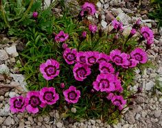dianthus alpinus | Dianthus alpinus 'Joan's Blood' - I need to find where this plant is sold. I couldn't bring mine with me when I moved.