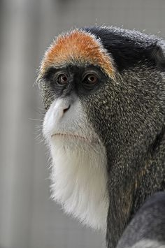 """De Brazza's Monkey ~ by Truus Zoo.He looks like my dad when he used to wear his """"ear-flap cap""""! The Animals, Nature Animals, Funny Animals, Strange Animals, Primates, Mammals, Beautiful Creatures, Animals Beautiful, Interesting Animals"""