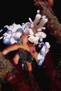Harlequin Shrimp (Hymenocera picta) paralyzing a Sea Star by injecting venom with its specialized stinging arms, 30 feet deep, Papua New Guinea by Chris Newbert
