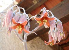 cotyledon orbiculata v.undulata