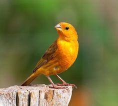 CANARIO-DA-TERRA-VERDADEIRO (Sicalis flaveola) by Dario Sanches, via Flickr