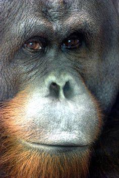 Orangutan by floridapfe, via Flickr
