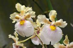 Orchid Hybrid: Zelenkocidium Heiko Greffier - This is Zelenkoa onusta x Oncidium fuscatum - Flickr - Photo Sharing!