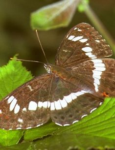 De Vlinderstichting   Vlinder: kleine ijsvogelvlinder / Limenitis camilla   Foto's: imago