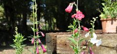 Late October and are young Penstemon plants are still flowering away, here you can see St James and Wedding Day.