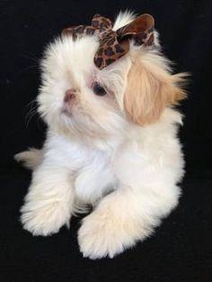 AKC Imperial Shih Tzu Puppies LOVE SHIH TZU?? visit our website now!