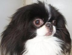 Pin On Japanese Chin