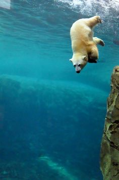 The polar bear is a great diving performer.