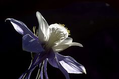 Close-up photo of Columbine flower by Andy Long