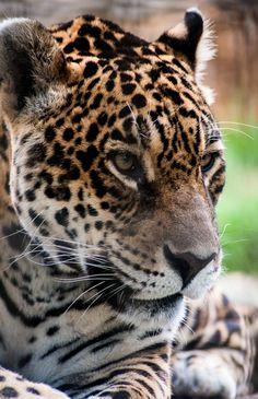 Onça Pintada Jaguar