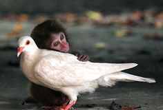 A Monkey without mom think that the dove is mom.