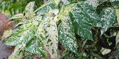 O Ficus aspera é belo e raro arbusto de até 4 metros de altura, nativo da arquipélago de Vanuatu, na Oceania e ficou conhecido popularme...