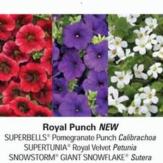 Enjoy the beautiful colors of Superbells® Pomegranate Punch ( New Annual for 2014), Supertunia® Royal Velvet, and Snowstorm® Giant White Bacopa planted in your landscape or in your container gardens.