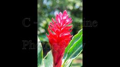 Costa Rica, Osa Peninsula, Drake Bay, Corcovado Park, Red Ginger, Red Flower, Peaceful, Calm, Jungle, Central America, birds, monkey, -1