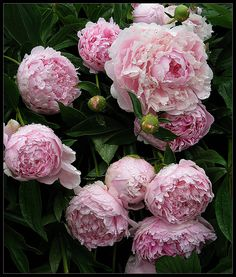 Peonies are one of my favorite types of flowers.  Nature at its finest.