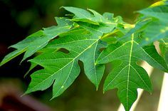 15 Health Benefits Of Papaya Leaf   Herbal Medicine