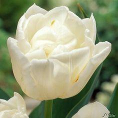 Gefüllte frühe Tulpe Mondial - 7 Stück kaufen | Garten-Schlüter