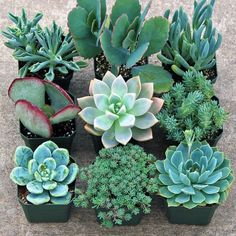 Blue Succulent Collection - Large (9) - Mountain Crest Gardens
