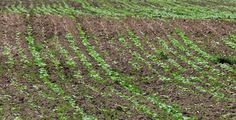 Soil temperature, seeding rate key to uniform stand