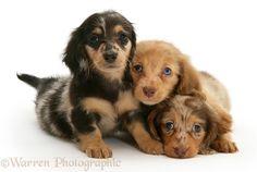 Dogs: Three Dapple Miniature Long-haired Dachshund pups