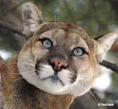 Mountain Lion - Iowa wildlife