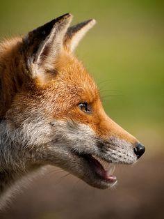 Photos that speak a thousand words Beautiful Creatures, Animals Beautiful, Cute Animals, Wild Animals, Baby Animals, Jaguar, Wolf Hybrid, Fox Images, Fox Face