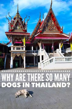 Why does Thailand have more than 8 million dogs? A look at Thailand dogs from a cycling viewpoint. #cyclingThailand #Thailanddogs #dogs #Thailand