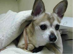 TO BE DESTROYED - 4/20/14 Manhattan Center   My name is COOPER. My Animal ID # is A0996989. I am a male tan chihuahua sh mix. The shelter thinks I am about 9 YEARS old.  I came in the shelter as a OWNER SUR on 04/17/2014 from NY 10309, owner surrender reason stated was OWNER SICK.   https://www.facebook.com/photo.php?fbid=789129991099882&set=a.611290788883804.1073741851.152876678058553&type=3&theater