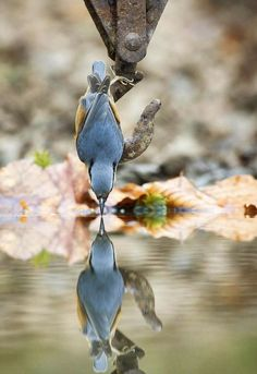 Birds admiring its own reflection in a pool of water.