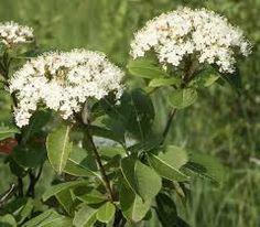 wild bushes plants shrubs - Google Search