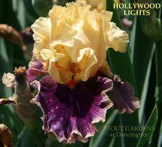 Iris HOLLYWOOD LIGHTS | Stout Gardens at Dancingtree