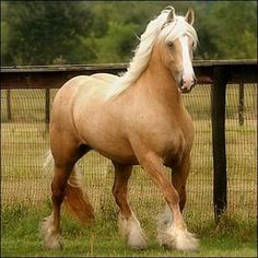Gypsy Vanner Palomino / I want this Horse