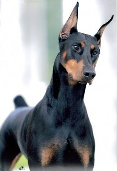 Doberman Pinscher Health problems in Doberman Pinscher. Good to know because I really want a Doberman! Beautiful Dogs, Animals Beautiful, Cute Animals, Chien Dobermann, Protective Dog Breeds, Doberman Pinscher Dog, Doberman Love, Mundo Animal, Dog Life
