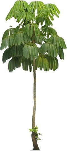 umbrellatree02.png (529×1184)
