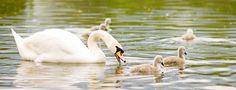 Swans, St. Albans