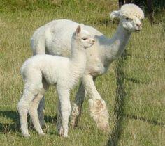 Alpaca & baby.  Don't ya' just wanna squeeeeeze them?