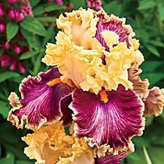Decadence iris photo: Planted Fall 2014 from Spring Hill Nursery. Iris Flowers, Types Of Flowers, Planting Flowers, Unusual Flowers, Amazing Flowers, Beautiful Flowers, Iris Garden, Garden Art, Begonia