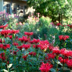 Monarda, commonly called bee balm, lives up to its name when it comes to a favorite of bees. Its crown-shape blooms appear in mid to late summer and is a nice addition to a perennial border. Varieties are available in shades of red, blue, violet, white or pink. The foliage is dark green. Name: Monarda Growing conditions: Full sun Size: 2-4 feet tall; 1-1/2-3 feet wide Zones: 4-9