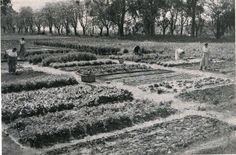 Escuela de Agricultura de Casilda. Aspecto de la huerta escolar de 312 metros cuadrados. Cosecha de verduras. Fuente: Anales de Enseñanza Agrícola, nº 2, Dic. 1942.