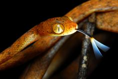 Imantodes inornatus from Costa Rica Pretty Snakes, Tortoise Table, Serpent Snake, Hissy Fit, Reptiles And Amphibians, Tortoises, Animals Beautiful, Animals And Pets, Snake Reptile