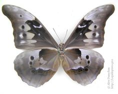 Morpho Butterfly, Insects, Wings, Collections, Feathers, Feather, Ali