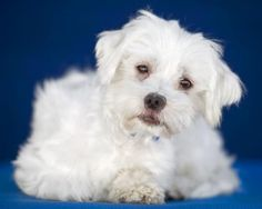 Petango.com - Meet Art, 2y 7m Maltese available for adoption in COLORADO SPRINGS, CO