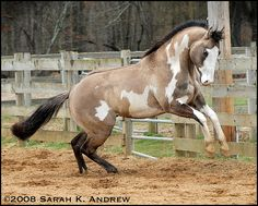 "OH Justin Time: Grullo Overo Paint Stallion (most places call him a ""Silver"" also, but he doesn't appear to carry the silver gene, because that fades the black to brown and he still shows black.)"