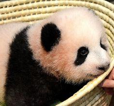 わたしシャンシャン 上野のパンダ命名:朝日新聞デジタル