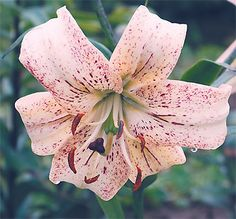 Asiatic Lily White Lace