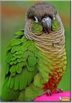 Yoshi the Greencheek conure is Pet of the Day for July 2014 Animals And Pets, Baby Animals, Cute Animals, Conure Bird, Parrot Pet, Funny Birds, Horse Pictures, Cockatoo, Wild Birds