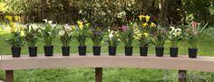 Calla Lily Bulbs for Sale – Aloha Lily, Amaryllis BellaDonna and. Lily Bulbs, Bulbs For Sale, Calla Lily, Pots, Colour, Cookware, Zantedeschia Aethiopica, Jars, Calla Lillies