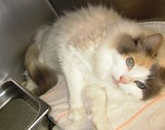 Paisley is an adoptable Ragdoll Cat in Willingboro, NJ. Paisley is a sweet, loving, dilute calico, long haired ragdoll cat.  She is 7 years old, spayed, front declawed and UTD with shots.  She is fiv/...